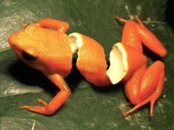 frog-orange