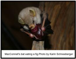MacConnell's bat_Schneeberger
