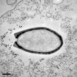 Pandoravirus_Chantal_Abergel_Jean-Michel_Claverie_2013